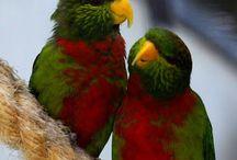 Neopsittacus / Il genere neopsittacus comprende due specie di lorichetti della Nuova Guinea, appartenenti alla famiglie dei loridae. La loro particolarità risiede nel ventre rosso scuro che rammenta alcuni conuri sudamericani.  http://www.pappagallinelmondo.it/neopsittacus.html