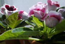 flori -gloxinii