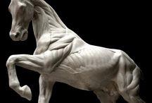 horseanatomy