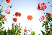 Flowers-Poppies
