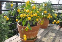 How to grow Meyer Lemon trees / by Kelly Taylor