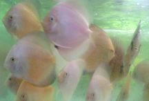 live tropical fish freshwater / Provide various species of tropical fish freshwater. If you interest call Contact Person : robisyarif@yahoo.co.id
