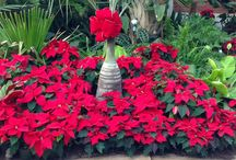 Poinsettias 2016 Expect the Unexpected