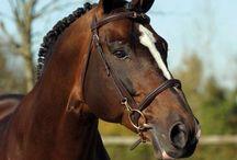 Le Cheval de Sport Belge / La Société d'Encouragement pour l'Élevage du cheval d'Armes voit le jour en 1920. Elle a pour but d'encourager l'élevage d'un cheval pour l'armée belge.