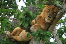 Leões