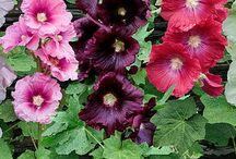 Holyhocks / A splendid flower that I simply love!