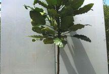 Windbreak/backscreening plants