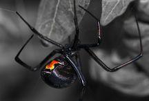 ❤ Black Widow ❤