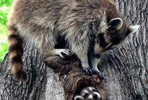 Animals - Raccoons