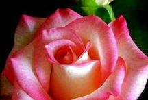 000 Rosas