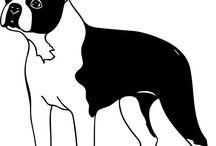 Hund BOSTON BULL TERRIER