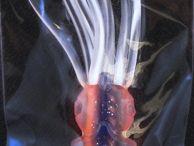 Supertackle EZ Rigs / B2 EZ Rig fishing squids
