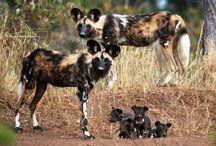 Yabani  Köpekler