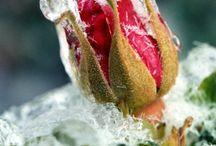 Crownrose