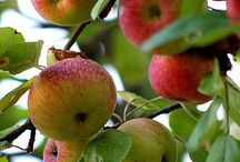 A is for Apple... / One of my favorite fruits.....good all year long...especially love honeycrisps! / by Kim Teigen