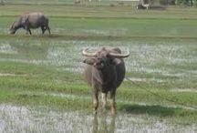 Rowdy Buffalo
