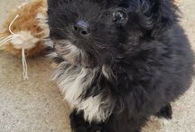 """Kiba / This is our newest family member, a Cavoodle.  My twin girls named him """"Kiba"""" from one of there favourite anime shows and this puppy is adorable :)"""