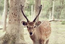 CERF / Mon amour pour les cerfs/biches/faons et Bambi :)