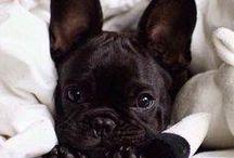 French Bulldog / dogs