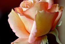 Pastigliaggio rose