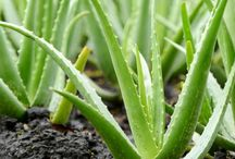 Aloe Vera & other articles