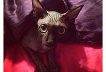 Sphynx cats / Piaf Kat von D cat