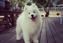 My fav Animals / Favorite dog  Samoyed  Smiley dog  Happy Dog  Snow white dog Pets Cats