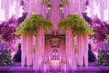 Wishing for Wisteria