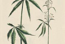 Cannabis Botanicals