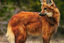 Lobo Guará/Maned Wolf (Chrysocyon brachyurus) / Maned Wolf