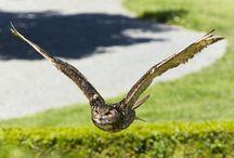 Falknerei auf Schloss Rosenburg / Um dieses UNESCO Weltkulturerbe auch weiterzuführen, sichert die eigene Zuchtstation den Erhalt der verschiedenen Greifvogelarten, deren Flugkünste bei den atemberaubenden Freiflugvorführungen hautnah erlebt werden können.