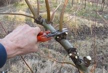 Potatura e legatura / Pruning and tying vines.