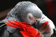 birds photography / african gray