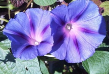 morning glories-my favorite flower / by Louise Lagerman