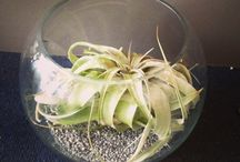 Air plants from Lotty's flowers