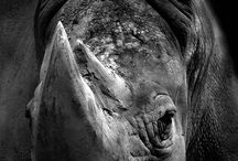 Rhino Conservation / Rhino conservation and media work to save this iconic species from extinction