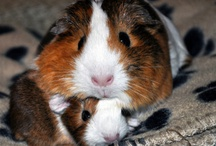 Guinea Pigs / by Mary Green