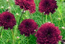 Svart-lila blommor
