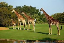 Big5 Golf & Big5 Safari / Imagine you Tee off in the African wild with breath-taking landscapes of unsurpassed beauty, enjoying close encounters with the Big Five and other wildlife and staying in luxury and comfort  in exclusive resorts.