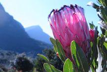 Jardin botanique de Kirstenbosch, Le Cap