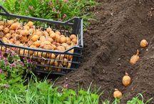 Kartoffeln / Auf dieser Pinnwand findet Ihr alles Rund um die Kartoffel.