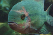 aquatic / 150g freshwater, south/central american #cichlid #thelifeaquatic