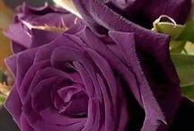Roses/Rose