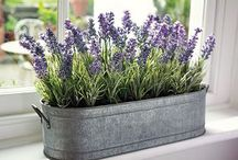 Lavender , glorious LAVENDER!!!!!