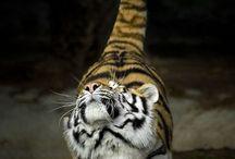 Beautiful  Big Cats
