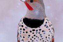 Animals--Birds--Flickers / by Nina Holdman Rader
