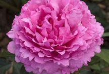 Rose Yves Piaget ® Meivildo