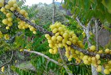 Star of weird fruits amazing for health. Gooseberries that you will love it!