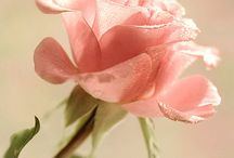 Pink rosé / Rozen