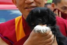 Tibetan Spaniels
